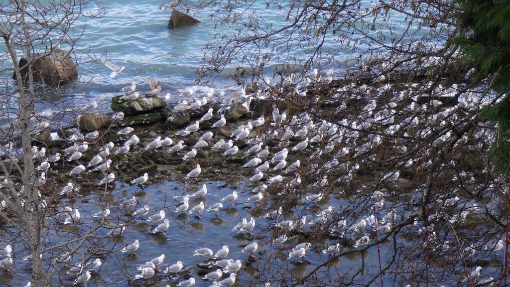 Herring Fishery - Dar Lessard Denman Island 4