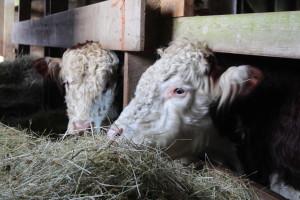 Denman Island Happy cows